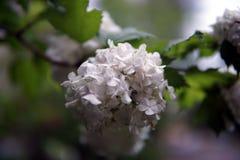 Fleurs blanches de hydrangea photos libres de droits