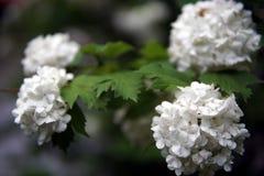 Fleurs blanches de hydrangea images stock