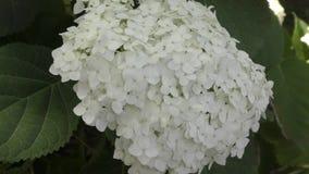 Fleurs blanches de hydrangea banque de vidéos