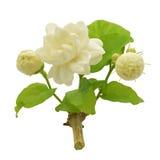 Fleurs blanches de jasmin Photographie stock libre de droits