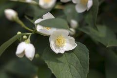 Fleurs blanches de jasmin Photos stock