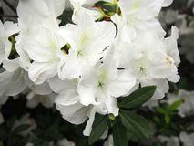 Fleurs blanches de jasmin Photo libre de droits