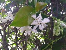 Fleurs blanches de jasmin avec les feuilles vertes Photographie stock libre de droits