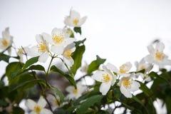 Fleurs blanches de jasmin (Philadelphus) Photo stock