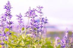 Fleurs blanches de lavande vues étroitement vers le haut Photographie stock