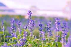 Fleurs blanches de lavande vues étroitement vers le haut Photos libres de droits