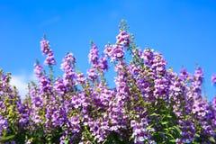 Fleurs blanches de lavande vues étroitement vers le haut Image stock