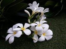 Fleurs blanches de Leelawadee Photographie stock
