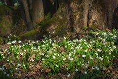 Fleurs blanches de Leucojum dans une forêt profonde Image libre de droits