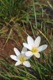 Fleurs blanches de lis de pluie Photos libres de droits