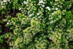Fleurs blanches de Lobularia Photo stock