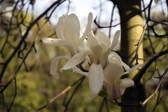 Fleurs blanches de magnolia Images libres de droits