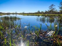 fleurs blanches de marais en rivière photos libres de droits