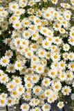 Fleurs blanches de Matricaria sur le pré. Images stock