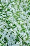 Fleurs blanches de milflores Photo stock