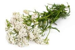 Fleurs blanches de millefeuille photo libre de droits
