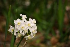 Fleurs blanches de narcisse Photo libre de droits