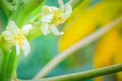 Fleurs blanches de papaye sur la cime d'arbre Fleur organique de papaye sur le TR Photographie stock