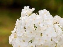 Fleurs blanches de phlox Image libre de droits