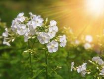 fleurs blanches de phlox sur un fond noir Images libres de droits