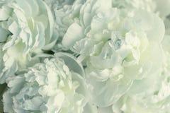 Fleurs blanches de pivoine Images libres de droits