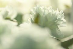 Fleurs blanches de pivoine Photos libres de droits