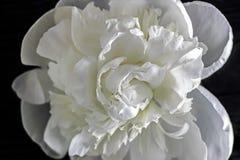 Fleurs blanches de pivoine avec le fond noir Image stock