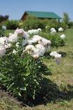 Fleurs blanches de pivoine dans le jardin Photos libres de droits