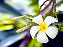 fleurs blanches de plumeria. Photos libres de droits