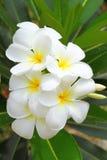 Fleurs blanches de Plumeria Photo stock