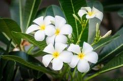 Fleurs blanches de Plumeria Photographie stock libre de droits