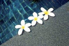 Fleurs blanches de plumeria Photos libres de droits