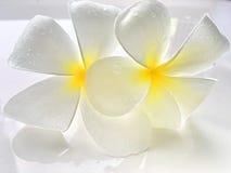 Fleurs blanches de plumeria Photographie stock