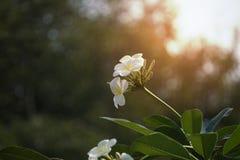 Fleurs blanches de Plumeria en parc Images stock