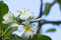 Fleurs blanches de Plumeria sur l'arbre Images stock