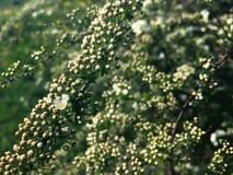 Fleurs blanches de poire allumées par le soleil image stock