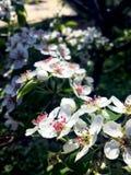 Fleurs blanches de poire allumées par le soleil photo stock