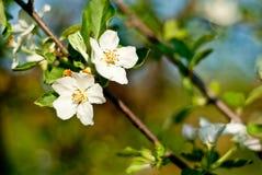 Fleurs blanches 4 de pomme Photo libre de droits