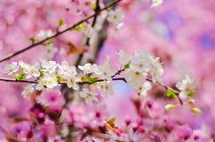 Fleurs blanches de pomme Image stock