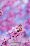 Fleurs blanches de pomme Image libre de droits