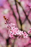 Fleurs blanches 2 de pomme Image stock