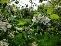Fleurs blanches de pomme Photographie stock