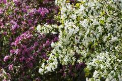 Fleurs blanches de pommier images libres de droits