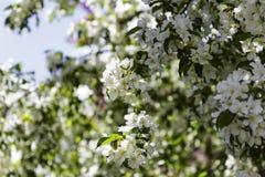 Fleurs blanches de pommier Photographie stock libre de droits