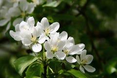 Fleurs blanches de pommier Photographie stock