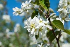 Fleurs blanches de pommier Photos stock