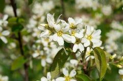 Fleurs blanches de pommier Photo libre de droits