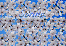 Fleurs blanches de prune contre le ciel bleu Photos stock