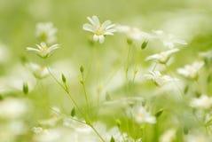Fleurs blanches de région boisée Image libre de droits