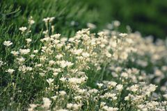 Fleurs blanches de ressort Image stock